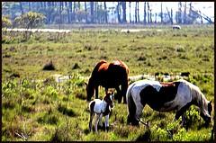 Chincoteague Ponies (SRApix) Tags: wild usa grass island virginia va april barrier ponies marsh preserve saltwater assateague 2012 feral chincoteague foal srapix