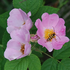 Insect on Wild Rose (DebStep77) Tags: plants wildrose insectsandspiders rosasetigera
