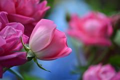 Pink Petals (KaDeWeGirl) Tags: newyorkcity pink flowers roses garden botanical bronx explore nybg monetsgarden