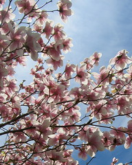 IMG_2107 (quirkyjazz) Tags: trees clouds spring lookingup magnolias blueskky