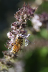 IMG_0020-2 (hickspixoz) Tags: bee honey basil pollen collecting
