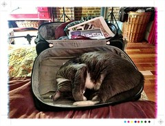 Stowaway (cyndisuewho) Tags: sleeping cat oliver packing luggage
