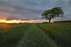 I'll be Back (SwaloPhoto) Tags: sunset tree field clouds scotland fife availablelight farming hedge crop ze culross canoneos5dmkii distagont2821 gallowsloan distagon2128ze