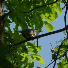 Yellow-billed Cuckoo (Dendroica cerulea) Tags: bird forest spring nj aves rutgersuniversity cuckoo yellowbilledcuckoo coccyzusamericanus middlesexcounty cuculidae neornithes cuculiformes coccyzus neoaves neognathae rutgersecologicalpreserve livingstoncampus