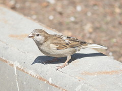 House Sparrow Female (Protamine) Tags: birds sparrow