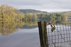 Wilted (DMeadows) Tags: trees lake flower reflection water rose rural forest fence landscape grid scotland countryside remember post country memory wilted loch trossachs ard davidmeadows dmeadows davidameadows dameadows