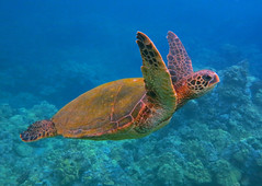 winging through the water  (in vivid color) (bluewavechris) Tags: ocean life sea color nature water animal coral swim canon hawaii marine underwater snorkel turtle reptile wildlife dive shell vivid maui scales reef creature flipper freedive