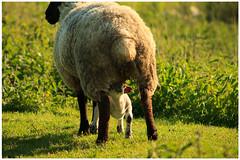Springtime (14) (H. Bos) Tags: haven nature grass animal sheep natuur lamb gras lente sheeps dier lam springtime almere schapen schaap lammetje littlelamb waterlandsebos
