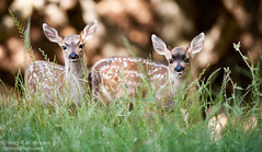Fawn twins (Bob Stronck) Tags: baby spring fawn muledeer sanmateocounty blacktaileddeer stronckphotocom ©2013rmstronck odocoileushemionussubspcalifornicus