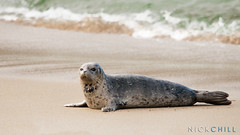 Lone Seal (Nick Chill Photography) Tags: california nature animal fauna photography nikon sandiego wildlife fineart lajolla solitary animalia harborseal stockimage d300s nickchill