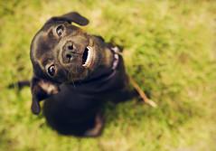 Cookie (L. Paul) Tags: cute green grass puppy chug pugwawa canon5dmarkiii sigma35mmf14a
