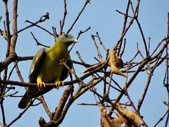 Yellow-footed Green Pigeon (Siva301in) Tags: bird canon powershot canonpowershot sivakumar sx40 yellowfootedgreenpigeon sx40hs powershotsx40hs canonpowershotsx40hs powershotsx40 bsivakumar sivakumarbalasubramanian