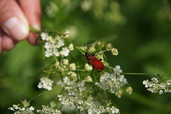 A red beetle on a flower. (Waku Waku) Tags: red white flower green nature sony beetle abigfave alpha550