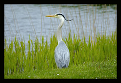 gray heron (xlod) Tags: vacation bird heron nature water netherlands animal wasser urlaub natur grayheron vogel niederlande reiher julianadorp graureiher