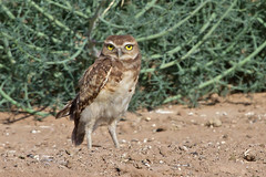 IMG_0545 Burrowing Owl Fledgling (lois manowitz) Tags: arizona birds raptors owls fledglings