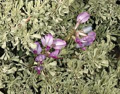 cac09.0115 (utahmatz) Tags: utah ut purple blossom sage antelopeisland cac 2009 artemisia davisco