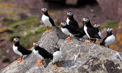Evening watch (Sue Wolfe) Tags: nature birds wales westwales wildlife cymru puffins pembrokeshire skokholm welshwildlifebreaks