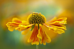 Sneezeweed (Jacky Parker Floral Art) Tags: summer flower macro nature horizontal closeup garden landscape one flora creative single bloom flowering format orientation perennial floralart helenium sneezeweed