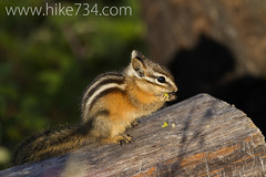"""Chipmunk • <a style=""""font-size:0.8em;"""" href=""""http://www.flickr.com/photos/63501323@N07/9456516197/"""" target=""""_blank"""">View on Flickr</a>"""
