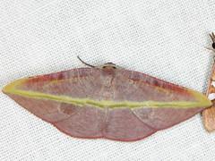Hypochrosis iris (Butler) (Geometridae, Ennominae, Hypochrosini) (Scrubmuncher) Tags: hypochrosisiris geometridae ennominae hypochrosini rosspiper moth lepidoptera tamanthi myanmar burma myanmarburmawildburmabbc2expeditionbbcexpeditionrosspiperentomologistentomology htamanthi moths lighttrap