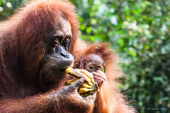 Sandra and Baby 4561 (Ursula in Aus (Resting - Away)) Tags: animal sumatra indonesia sandra unesco orangutan bukitlawang gunungleusernationalpark earthasia