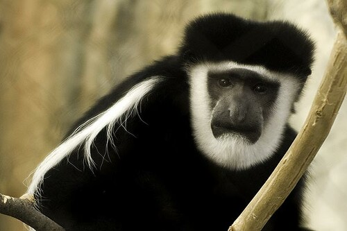 black and white colobus lincoln park zoo