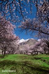 blossomy shadows (TARIQ HAMEED SULEMANI) Tags: travel pakistan tourism nature trekking nikon north n hunza tariq northernpakistan supershot theunforgettablepictures sulemani theperfectphotographer tariqhameedsulemani gilgitbaltistan