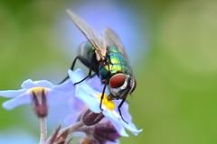 DSC_1572 (sylvette.T) Tags: macro insecte mouche 2014 extendertube bagueallonge nikond5100 objectifnikon50mm14g