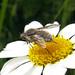 Bombílido (Bombyliidae)   * Conophorus virescens