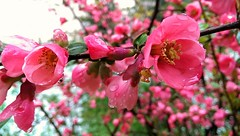 (*Tue*) Tags: pink flowers color nature colors beauty leaves leaf spring focus flickr colours raindrops flickrturkey