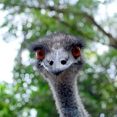 Emu close up (sooolaro) Tags: eye up closeup eyes close head beak emu