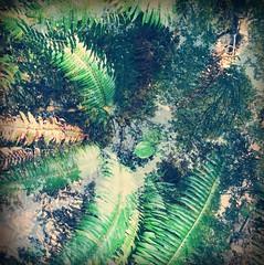 (Gary Sharp) Tags: trees sky oregon multipleexposure ferns iphone humbugmountain iphone6 hipstamatic blankofilm tejaslens