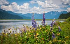 Pitt Lake, BC (EXPLORED) (Katrina Wright) Tags: pittlake pittmeadows bc hike lake mountains scenic dsc7214