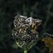 HYMENOPTERAS *  Panurginus sp