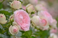 "rose, ""Pierre de Ronsard"" (snowshoe hare*) Tags: pink flowers rose botanicalgarden  pierrederonsard"