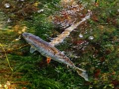 Boy meets girl (mark.griffin52) Tags: england fish nature wildlife breeding spawning roach tring hertfordshire freshwater olympusem5