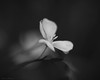 (theresa.brown1976) Tags: life flowers blackandwhite orange plants white plant black flower macro nature floral beautiful beauty lensbaby wonderful outside outdoors grey living petals amazing flora soft pretty close blossom bokeh outdoor earth blossoms nopeople petal simplicity stunning alive lovely elegant simple upclose majestic colorless naturewalk macrophotography planetearth livingthings floer nocolor beautifulearth canonphotography prettypetals macrolearning