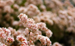 Flowers @ Boat Canyon, Laguna Beach (yuko92694) Tags: california pink flowers plants flower nature outdoors coast trails hike coastal wildflowers southerncalifornia wildflower lagunabeach lagunacoastwildness