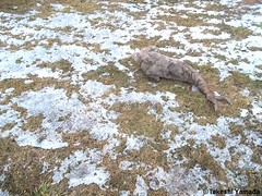 Seara (sea rabbit) on the snow covered ground on March 26, 2015. The Northeastern United States experienced another very cold (far below average temperature) and longer winter months during 2014 and 2015. New York.  20150326 028=4040C (searabbits23) Tags: snow ny newyork sexy celebrity art hat fashion animal brooklyn painting asian coneyisland japanese star tv google king artist dragon god manhattan wildlife famous gothic goth performance pop taxidermy vogue cnn tuxedo bikini tophat unitednations playboy entertainer takeshi samurai genius mermaid amc johnnydepp mardigras salvadordali unicorn billclinton billgates aol vangogh curiosities sideshow jeffkoons globalwarming takashimurakami pablopicasso steampunk yamada damienhirst cryptozoology freakshow barackobama charliesheen seara immortalized takeshiyamada museumofworldwonders roguetaxidermy searabbit ladygaga climategate minnesotaassociationofroguetaxidermists