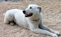 Lilly (Aleunam69) Tags: dog white animals cane portraits ritratti animali