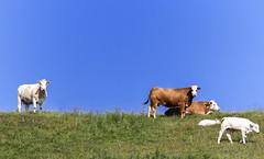 Memories (Danny VB) Tags: gaspesie summer cow cows fields farm farming quebec canada canon sky 7d canon7d ef135mmf2lusm memories