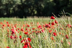 Coquelicots - Poppies (Kaya.paca) Tags: poppies coquelicots field country ladscape champ nature soleil sun colors couleurs green vert red rouge campagne balade matin morning spring2016 printemps2016 fleurs flowers
