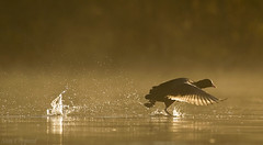 Coot Take Off (Sam_Coppard) Tags: coot brandonmarsh warwickshire flying lake mist misty sunrise canon 550d t2i