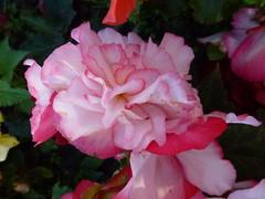 Pink Begonias ! (Mara 1) Tags: summer begonia outdoors flowers
