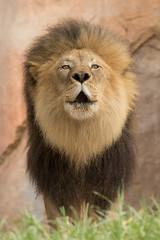 M'bari (ToddLahman) Tags: mbari lion lions lioncamp sandiegozoosafaripark safaripark canon7dmkii canon canon100400 escondido