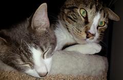 2015- Hank & Violet (teresamarkos) Tags: hank violet cat cats kitten kittens felines feline