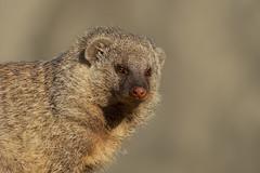 Banded Mongoose (FocusPocus Photography) Tags: zebramanguste bandedmongoose manguste mongoose tieranimal mungosmungo zoo wilhelma
