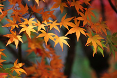 Maple leaves (Carrie YL) Tags: autumn goldandred foliage canada vancouver colorful beautiful leaves maple shade