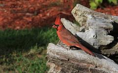 Cardinal rouge / Northern cardinal (ricketdi) Tags: bird cantley cardinal cardinaliscardinalis cardinalrouge northerncardinal