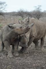 DSC00410 (Cyn Reynolds) Tags: blackrhino whiterhino a77ii 2016 zulunyala southafrica sooc